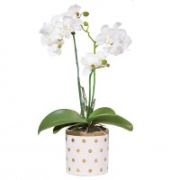Gold Dot Potted Orchid, White